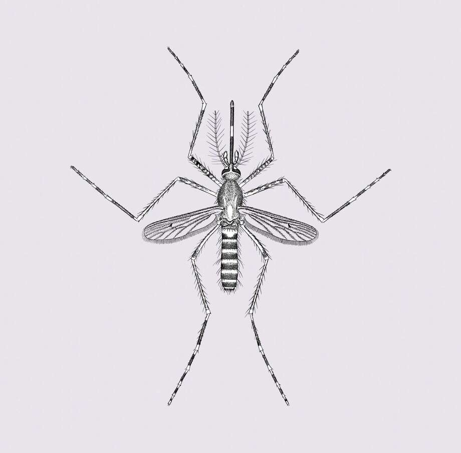 In an undated handout photo, an illustration of the culex tarsalis mosquito. In the western states, the species is the primary carrier in rural areas for West Nile virus. (Department of Entomology/Smithsonian Institution via The New York Times) -- NO SALES; FOR EDITORIAL USE ONLY WITH MOSQUITO TYPES BY EMILY S. RUEB FOR JUNE 29, 2016. ALL OTHER USE PROHIBITED. -- Photo: DEPARTMENT OF ENTOMOLOGY, HO / NYTN / SMITHSONIAN INSTITUTION