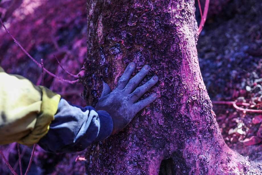 Firefighter Keith Abara rests his hand on a tree while looking for hot spots caused by the Soberanes Fire in Monterey. Photo: Gabrielle Lurie, The Chronicle