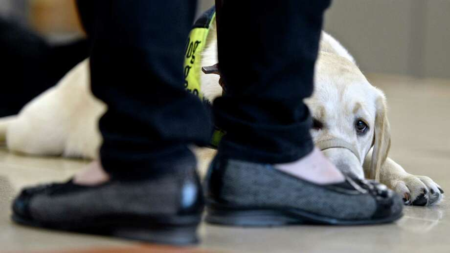 Bella, one of five service dogs  that are being trained in Newtown as part of a program that will provide them to clients for free. Thursday, September 29, 2016, in Sandy Hook Elementary School, Newtown, Conn. Photo: H John Voorhees III / Hearst Connecticut Media / The News-Times