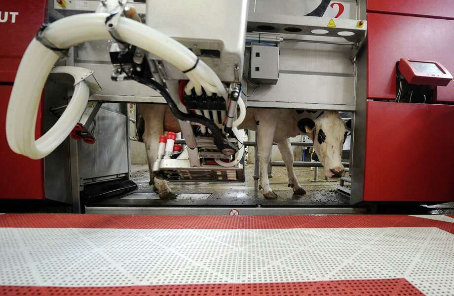 A cow is milked by a robotic milking system in Brehan, France. With artificial intelligence accelerating, the future is massive unemployment, combined with unskilled workers, and the elimination of millions of jobs in the manufacturing, agricultural and service sectors. Photo: AFP / Getty Images / File Photo / AFP or licensors