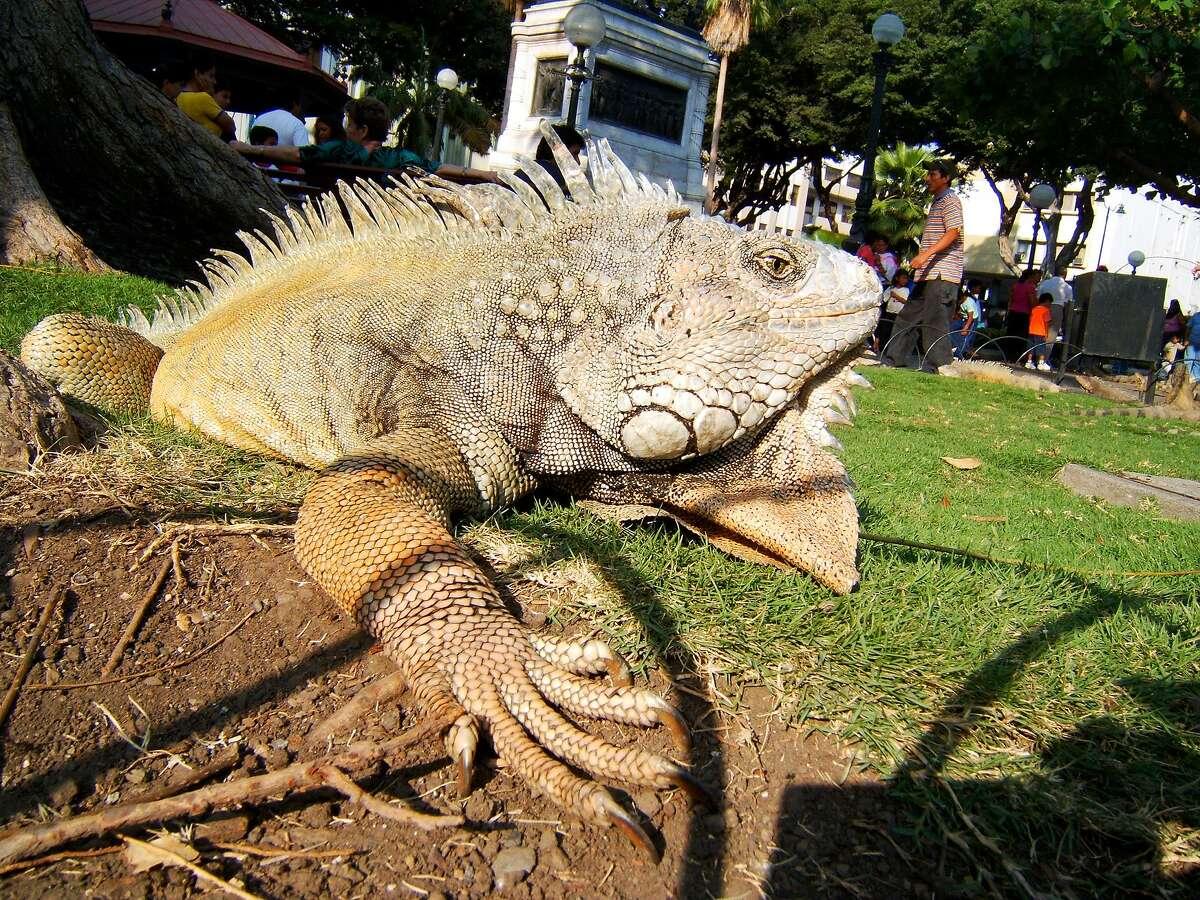 One of hundreds of iguanas that inhabit the Parque Bolivar in Guayaquil, Ecuador.