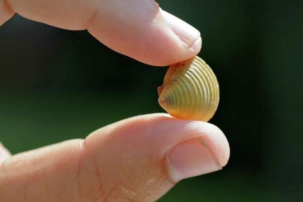 An Asian Clam is held by lake steward Layne Darfler at Norowal Marina on Thursday Aug. 9, 2012, in Bolton Landing, N.Y.  (Philip Kamrass / Times Union archive)