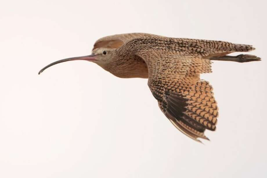 The Long-Billed Curlew is one of many birds found on Katy Prairie Conservancy preserves, which have been designated a Global Important Bird Area. Photo: Greg Lavaty