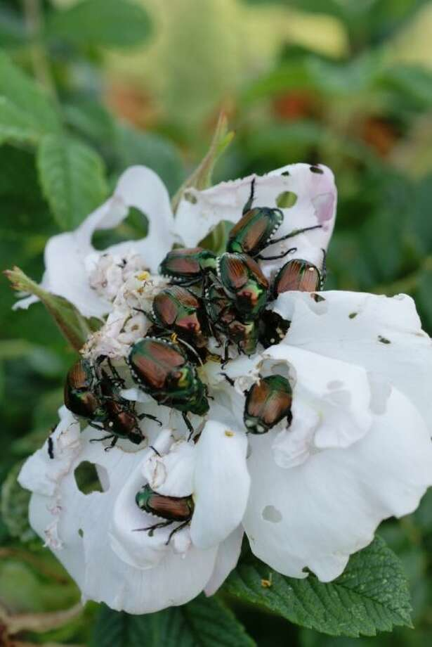 The Japanese beetle is a invasive pest in the Northeastern U.S., where it threatens some 200 species of plants, including rose bushes, birch trees, grape vines and crape myrtles. Photo: E. Jones