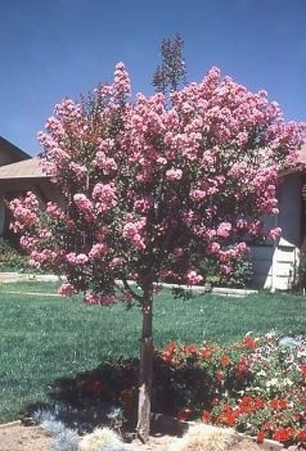 A young crape myrtle in bloom.
