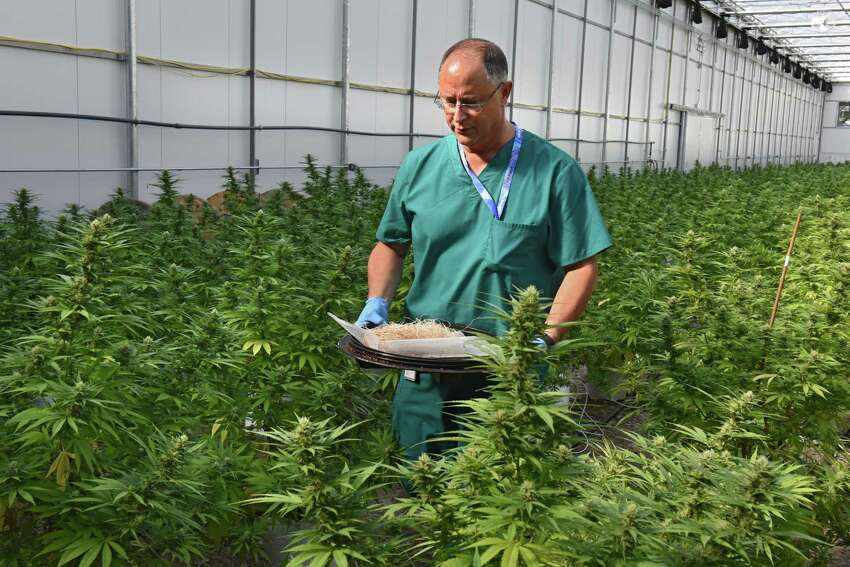 Horticulturalist Chuck Schmitt carries a tray full of lady bugs purposely used to help grow marijuana plants in the greenhouse at the Vireo medical marijuana facility in the Tryon Technology Park on Wednesday, Sept. 21, 2016 in Johnstown, N.Y. (Lori Van Buren / Times Union)