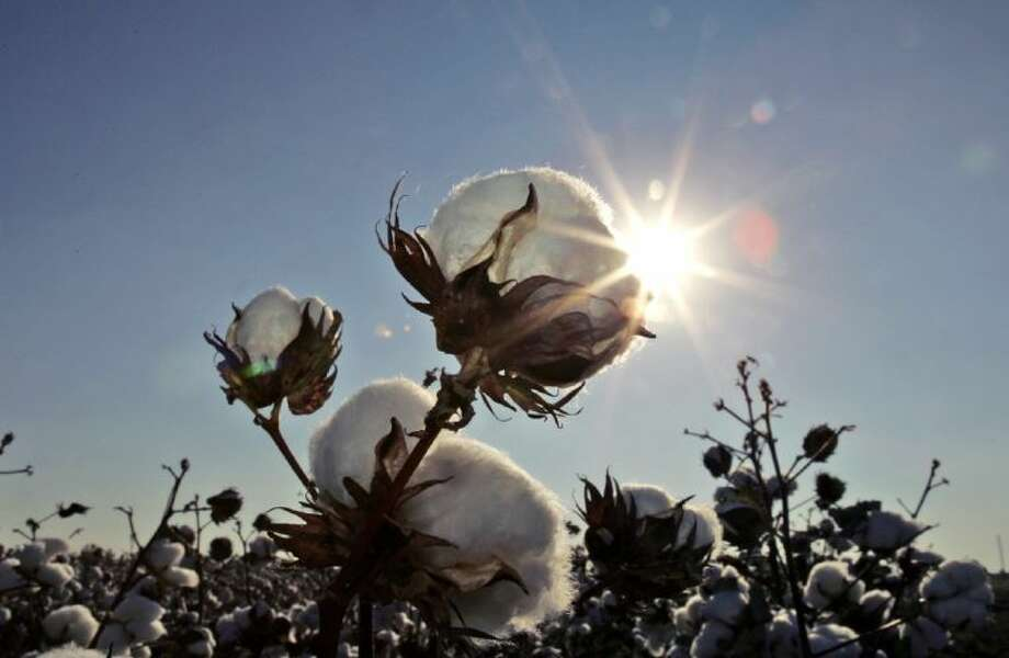 In this Oct. 12, 2007 file photo, the sun sets on a cotton field south of Lubbock. Drought, hail and many windy days with blowing sand have robbed the world's largest contiguous cotton-growing patch of 50 percent of its acreage this year. Dryland cotton has been hit the most.