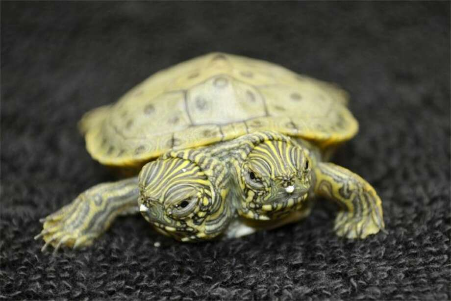 This undated file photo provided by the San Antonio Zoo on June 25, 2013, shows Thelma and Louise, a two-headed Texas cooter turtle. The two-headed turtle born last month at the San Antonio Zoo has become so popular that she has her own Facebook page that on Sunday, July 28, 2013, showed photos of the reptile and imaginary conversations between the two heads.