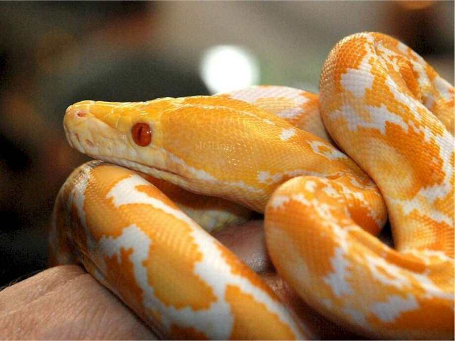 One of the attractions at Repticon, Jan. 11-12, at the Pasadena Convention Center. Photo: Submitted