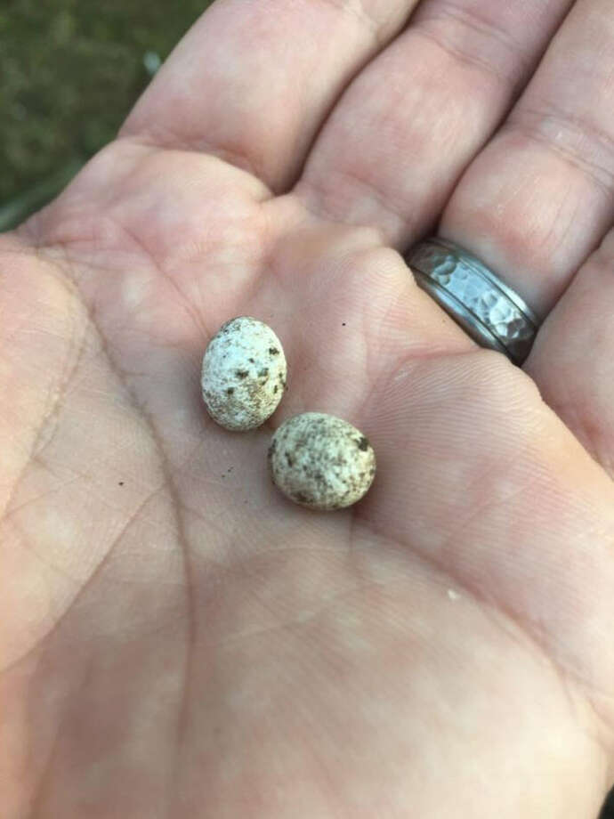 Houston man Martin Pollizotto found three unhatched lizard eggs in his yard and while he was moving them, one hatched right in his hand. Photo: Martin Pollizotto
