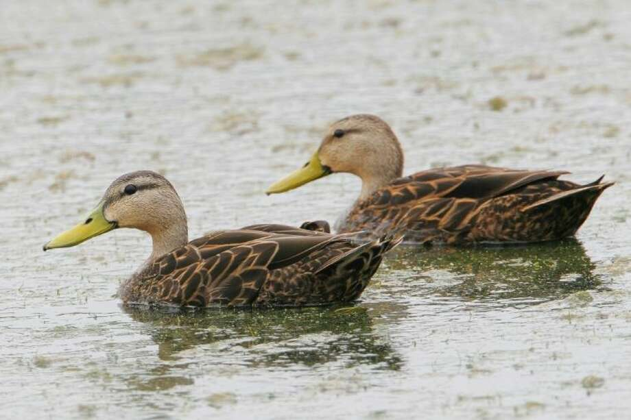 The Mottled Duck is one of the waterfowl that could be spotted at KPC's Wild West Tours Feb. 16 and March 1.