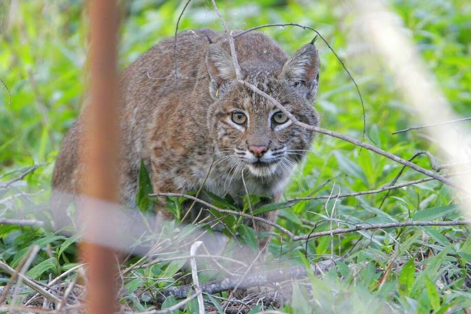 Bobcats are elusive, nocturnal and rarely spotted by humans but are known to roam the Katy Prairie. They will be discussed at Not So Scary Prairie to be held Halloween evening at Indiangrass preserve.