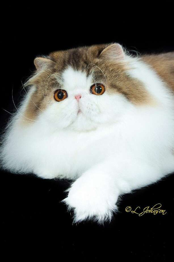 The Houston Cat Club Cat Show January 10 and 11 will be held at the Humble Civic Center. Running from 10 a.m. to 5p.m. Saturday and 9 a.m. to 4 p.m. Sunday, the show promises competition and many cat-related vendors. Pictured is a tabby and white Persian. The Persian is the number one registered cat in the nation according to the Cat Fanciers' Association which sanctions the Houston Cat Show. There will be 'Pet-Me' cats who like to meet and greet the public at the event. The Civic Center is located at 8233 Will Clayton Parkway. Parking is free. This show, which helps support pet charities, is in its 62nd year.