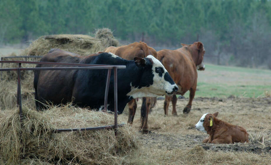The 2014 Texas calf crop is projected to be about 3.8 million, down somewhat from 2013, according to Texas A&M AgriLife Extension Service experts. Photo: Texas A&M AgriLife Extension Service Photo By Robert Burns