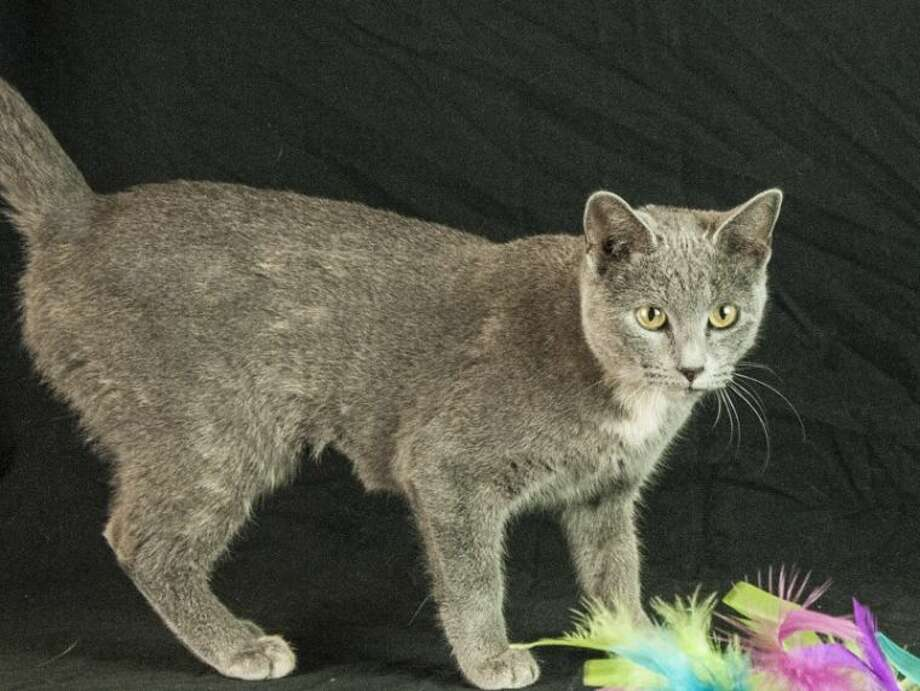 BellaID# 240766 Female Bella is a one year old Russian Blue with a great, loving personality. She's housetrained, microchipped and her adoption package is filled with lots of other great perks. Learn how to adopt her today when you visit us at www.HoustonSPCA.org.