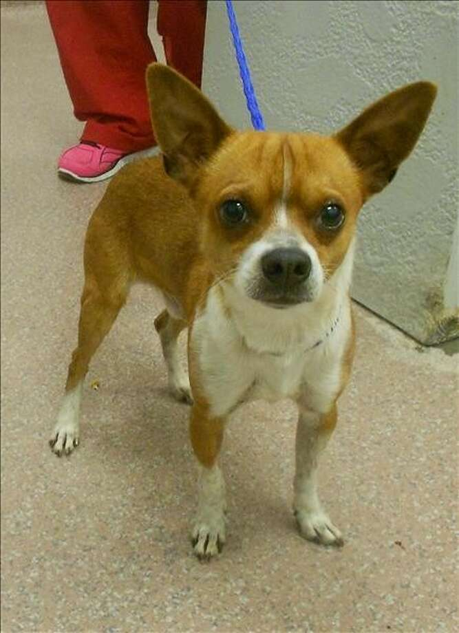 DodgerID# 243893 Male Dodger is a two year old Chihuahua cross who is looking for a place to call his own. He's sweet, playful and very friendly. Adopt him today from the Houston SPCA.