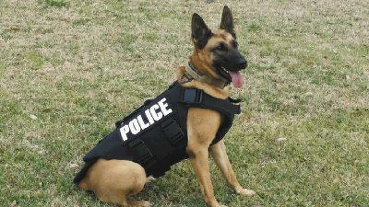 Dina, originally from Hungary, is the newest member of the League City Police Department K9 unit. Dina recently officially received her ballistics vest.
