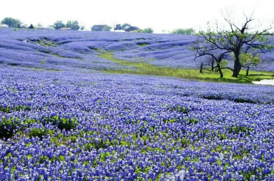 Texas bluebonnets. Photo: GLORIA WALKER SMITH
