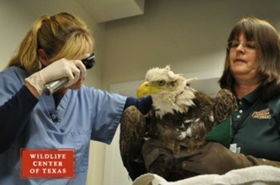 Wildlife Experts Work To Save Injured Bald Eagle Found In