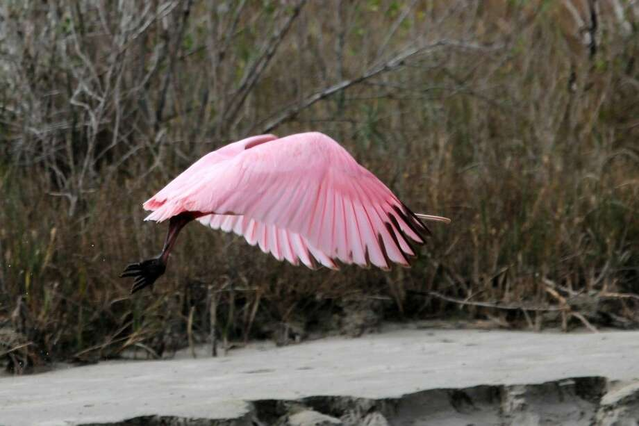 Roseate Spoonbill. Photo: Lyman F Brown