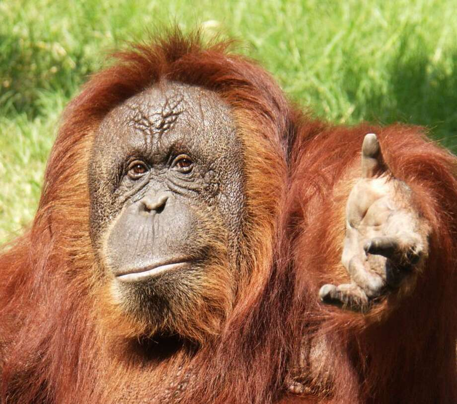Cheyenne is one of the orangutans at the Houston Zoo who has participating in Pongos Helping Pongos.