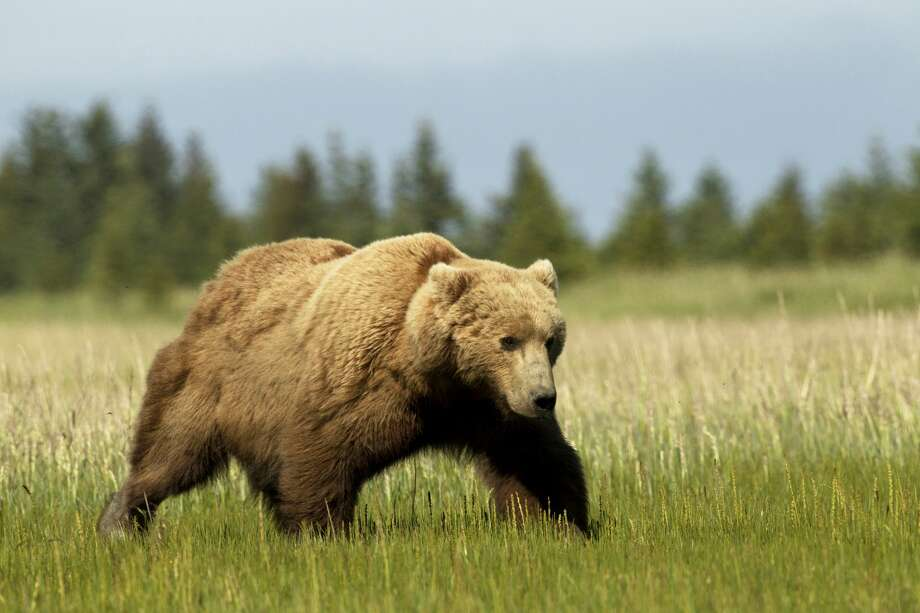 Grizzly Bear in Lake Clark National Park walking in grass plains. Photo: Image By David G Hemmings/Getty Images
