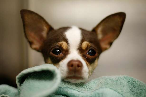 LOS ANGELES, CA - DECEMBER 15: A Chihuahua waits adoption at a Los Angeles Department of Animal Services shelter on December 15, 2009 in Los Angeles, California. Chihuahuas make up about a third of the dogs at many California shelters, so many that some shelters are shipping Chihuahuas to other states to find homes. A shelter in Oakland sent about 100 to Arizona, Oregon and Washington. Recently, a Los Angeles city shelter flew 25 Chihuahuas to Nashua, New Hampshire where all found homes within a day through the local Humane Society. Experts have blamed the glut of abandoned Chihuahuas in California on the influence of pop culture, a bad economy, puppy mills and backyard breeders. Fans sometimes abandon the dogs when they are no longer new and cute to them or when expensive vet bills start to add up. The tiny dogs are named for the Mexican state of Chihuahua. (Photo by David McNew/Getty Images)