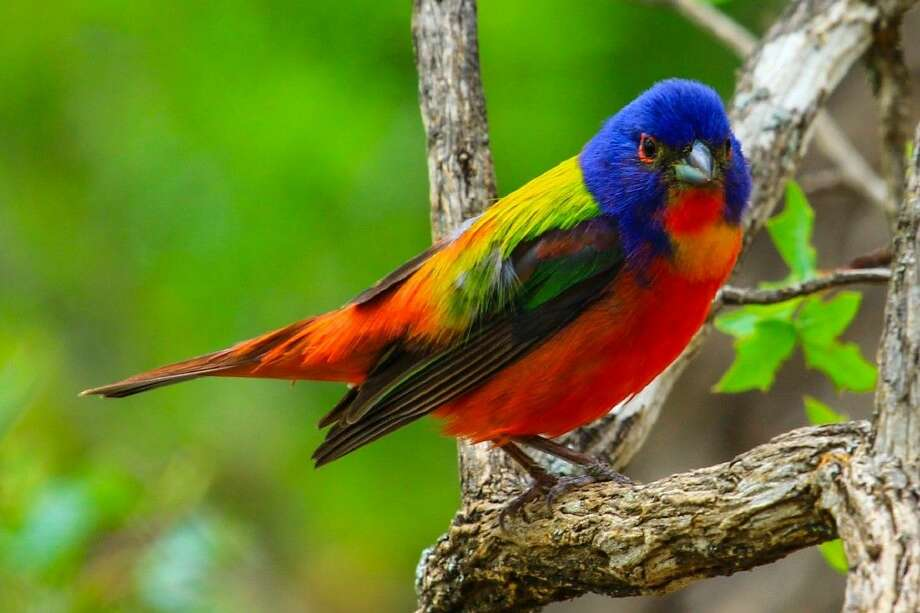 2015 FeatherFest theme bird, the Painted Bunting. Photo credit: Jan Hanson