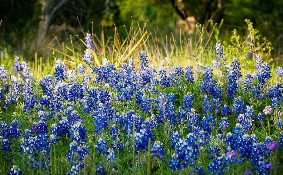 Texas bluebonnets, the state flower, are in full bloom this April. The flowers, usually found in patches on roadsides, are a popular place for families to take photos.