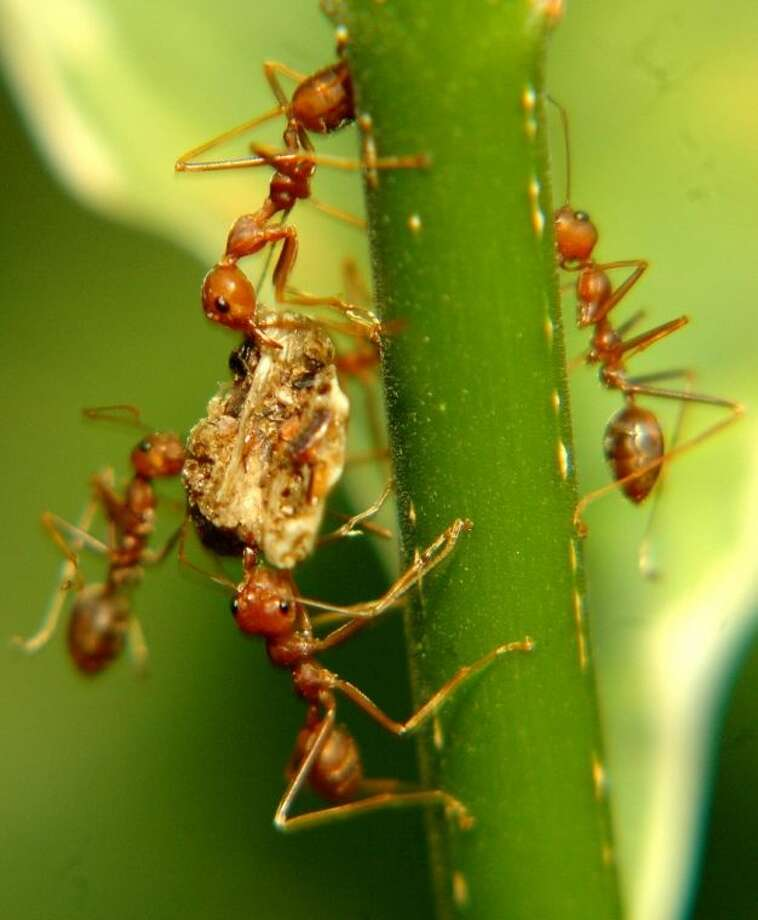 As the weather warms up, residents in and around the Houston area are preparing for the invasion of the destructive Rasberry Crazy Ants. Photo: Submitted Photo