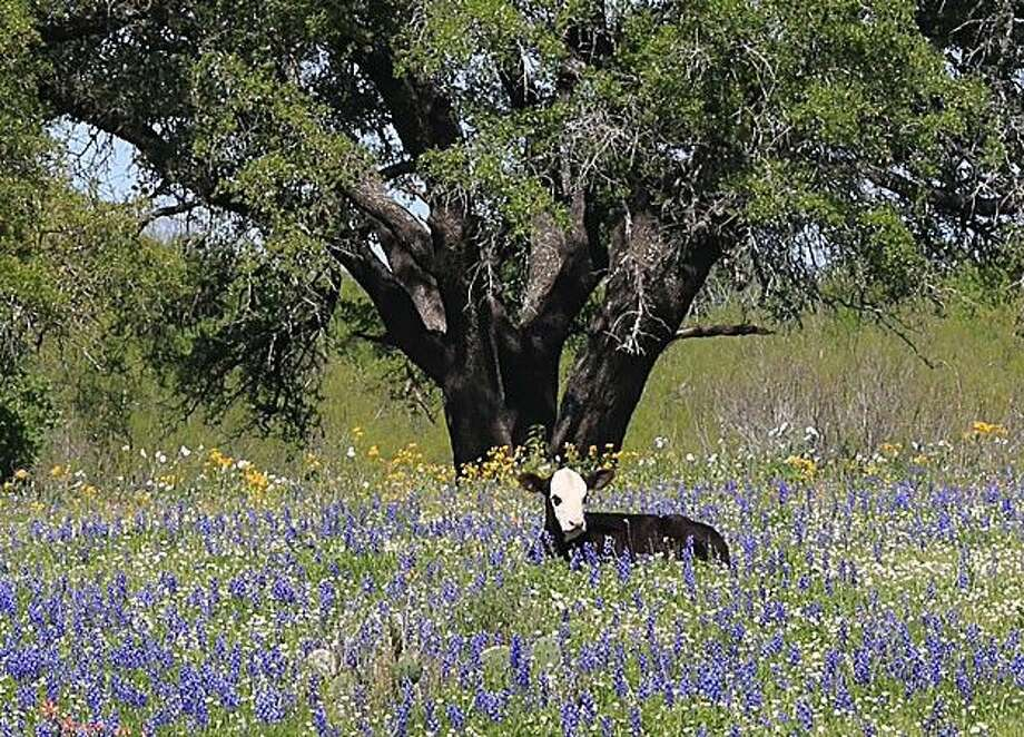 During a recent road trip, Mike Barnett shot several photos including a calf relaxing in a field of bluebonnets.