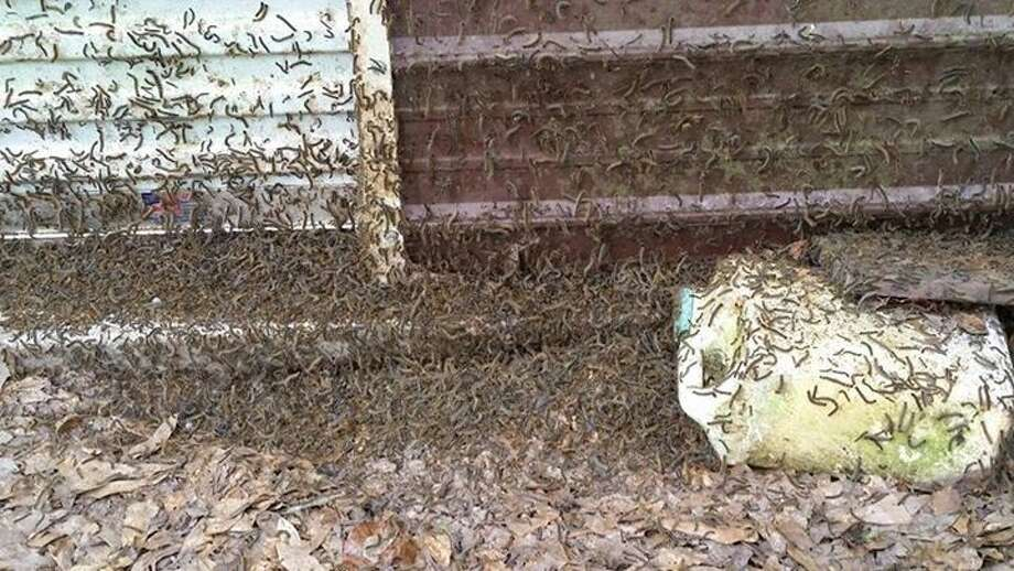 Sarah Tuttle-Chun of Cleveland shared a photo of the tent caterpillars at her home. The worms are creating a nuisance for many residents of Southeast Texas at the moment as they emerge from their nests.