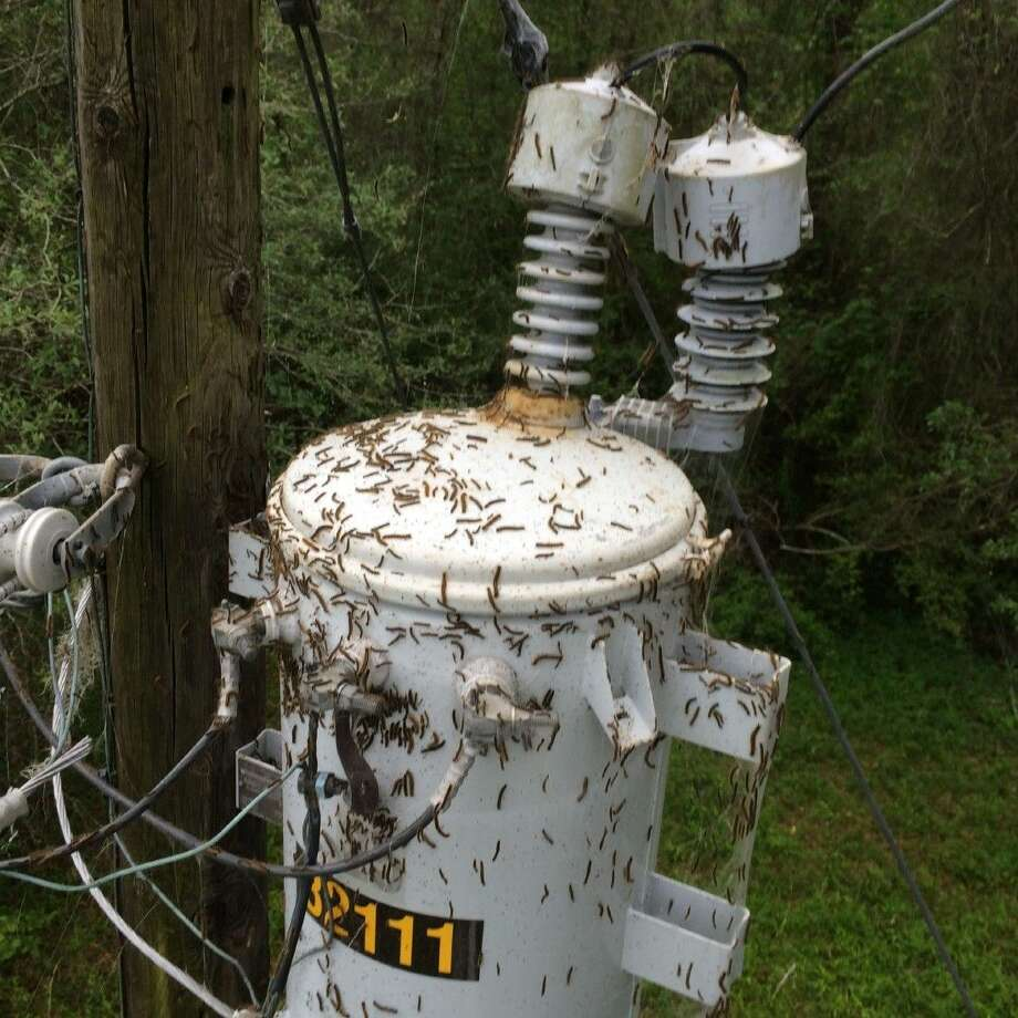 Dozens of power outages in the Sam Houston EC's coverage territory were caused by tent caterpillars last week. The utility company is concerned about the caterpillars destroying trees, which could lead to downed tree limbs and more power outages. Photo: Submitted