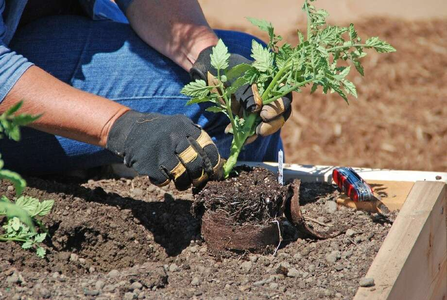Myers recommends planting tomatoes slightly deeper or in a trench for better rooting.