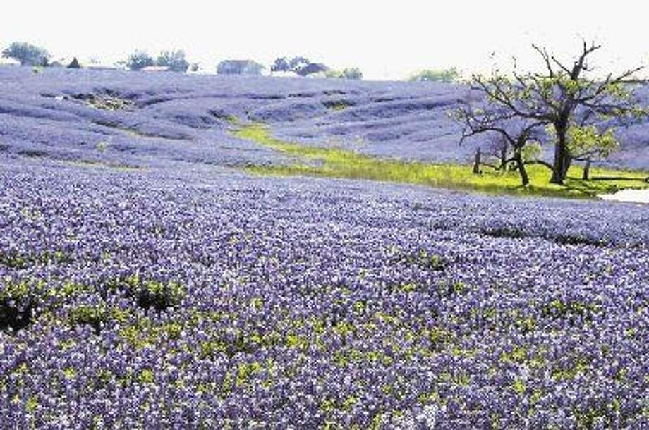 Texas bluebonnets. Photo: GLORIA WALKER SMITH