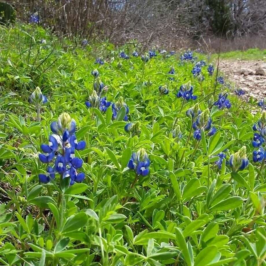 Bluebonnets and other flowers dot the landscape at McKinney Falls State Park.