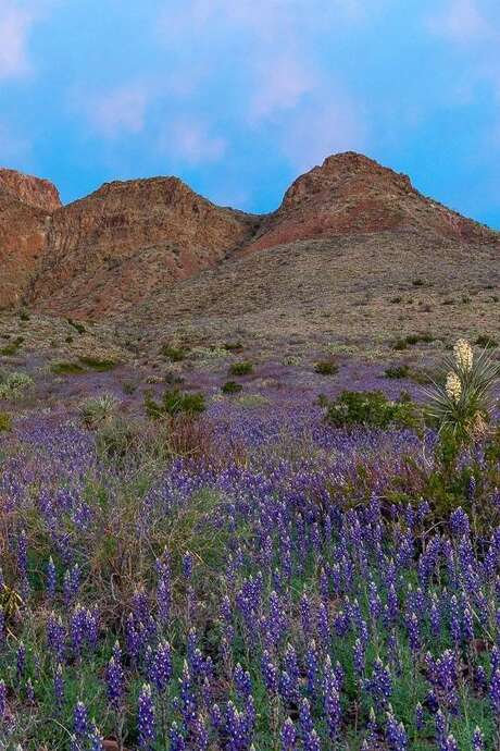 A blanket of bluebonnets covers the ground at Big Bend State Bank. Photo: Submitted