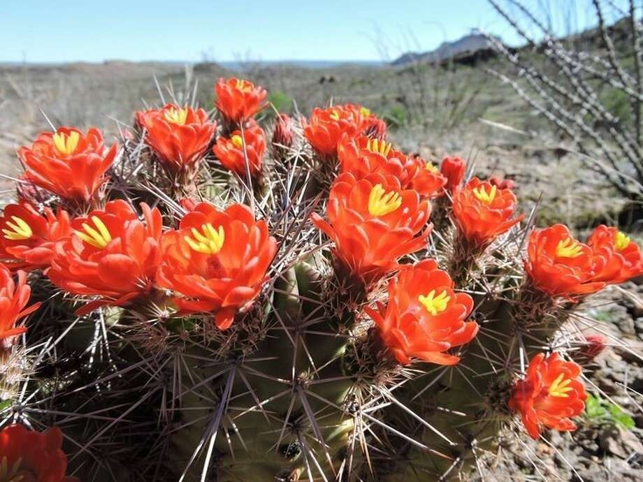 Claret Cups blooming at Big Bend Ranch State Park in west Texas