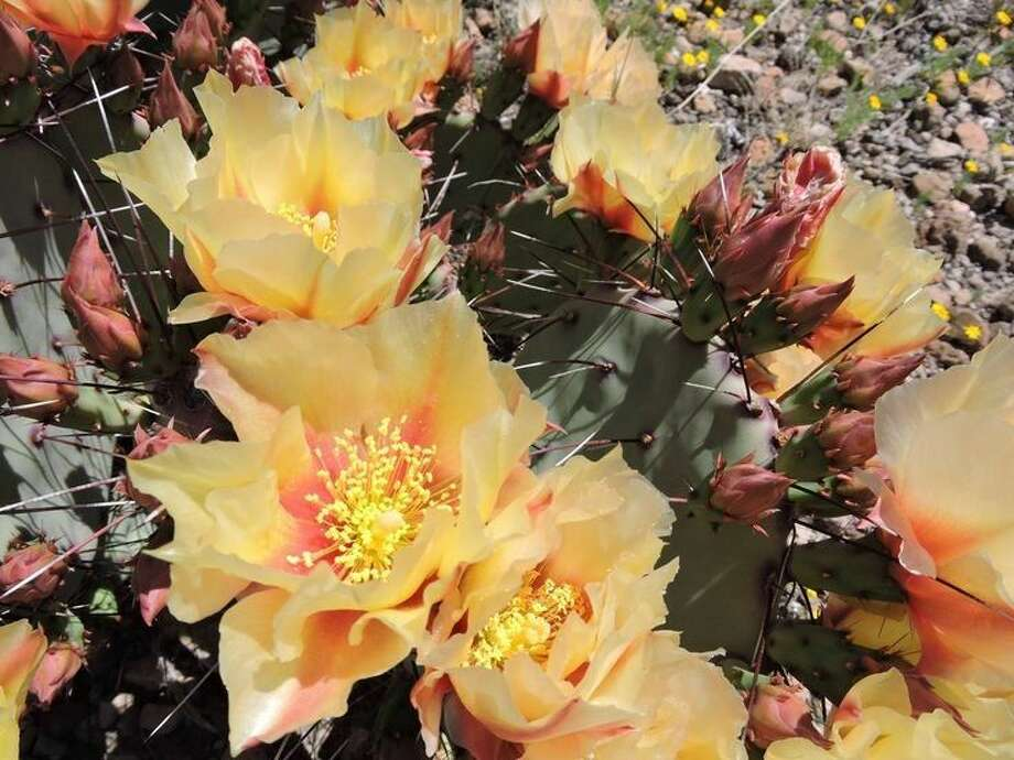 Prickly Pear blooms at Big Bend Ranch State Park in west Texas.