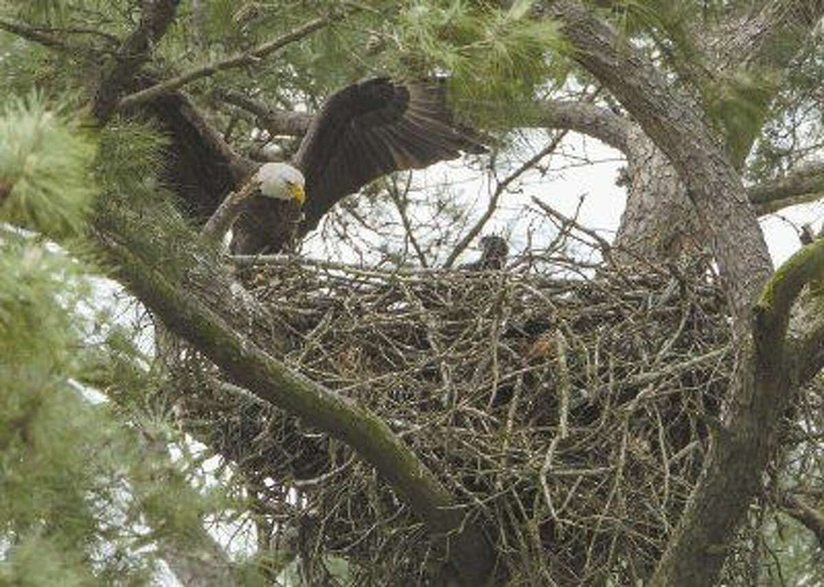 A bald eagle flies into its nest Thursday, April 9, 2015, where it recently-hatched chick awaits. The nest is located near the construction site of a Hughes Landing development off the 1900 block of Lake Front Circle in The Woodlands.