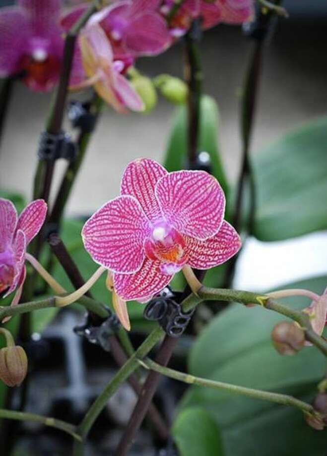Orchid Obsession, a local grower, wholesaler and retailer of orchids, bromeliads and other tropical plants will gift orchids to mothers attending the May 11 Farmers Market at Bridgeland, set for 12:30-3:30 p.m. at 16902 Bridgeland Landing.
