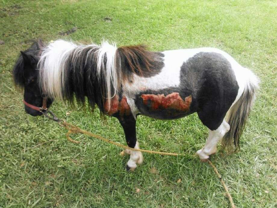A 5-year-old Shetland pony was injured Wednesday, May 7, when his owner allegedly dragged him down a road in Dayton. The pony is expected to survive, but he sustained serious injuries to his left side, left eye and hooves. Photo: Submitted Photo