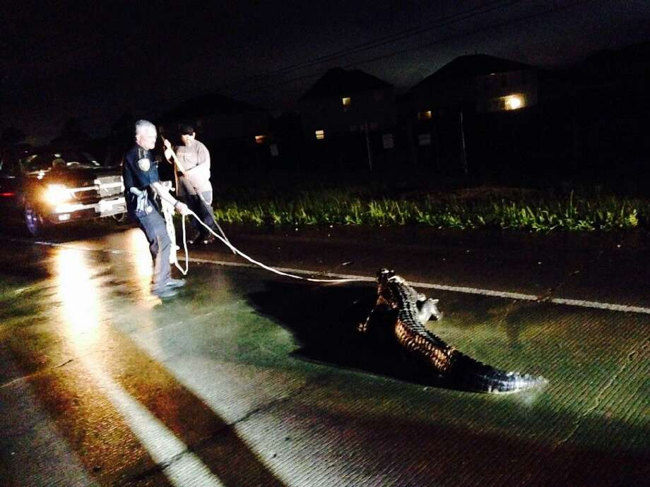 HCSO deputies responded to a call of an alligator along the feeder road of the Crosby Freeway and Edgewood Village Trail in northeast Harris County Thursday night, April 16, 2015.