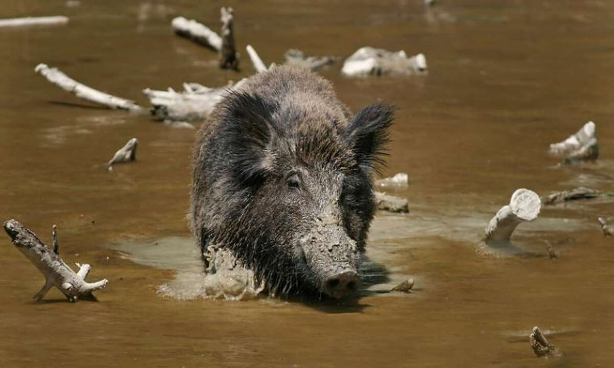 Commissioner Steve Radack is attempting to reduce Texas' feral hog population.