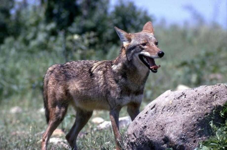 The range of coyotes has expanded with the decline of wolf populations. The Texas Department of Parks and Wildlife does not provide nuisance control of coyotes. Photo: TEXAS PARKS AND WILDLIFE