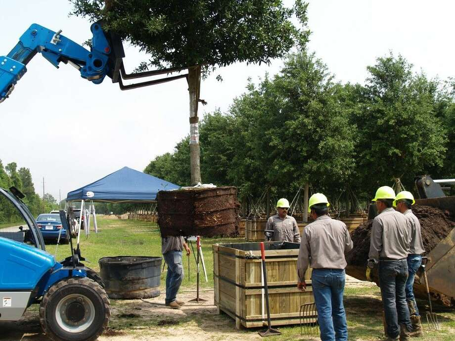 Workers place a live oak tree into a custom made 400-gallon wooden crate on April 24th. The trees will be stored until it is time for them to be placed on Post Oak Blvd.