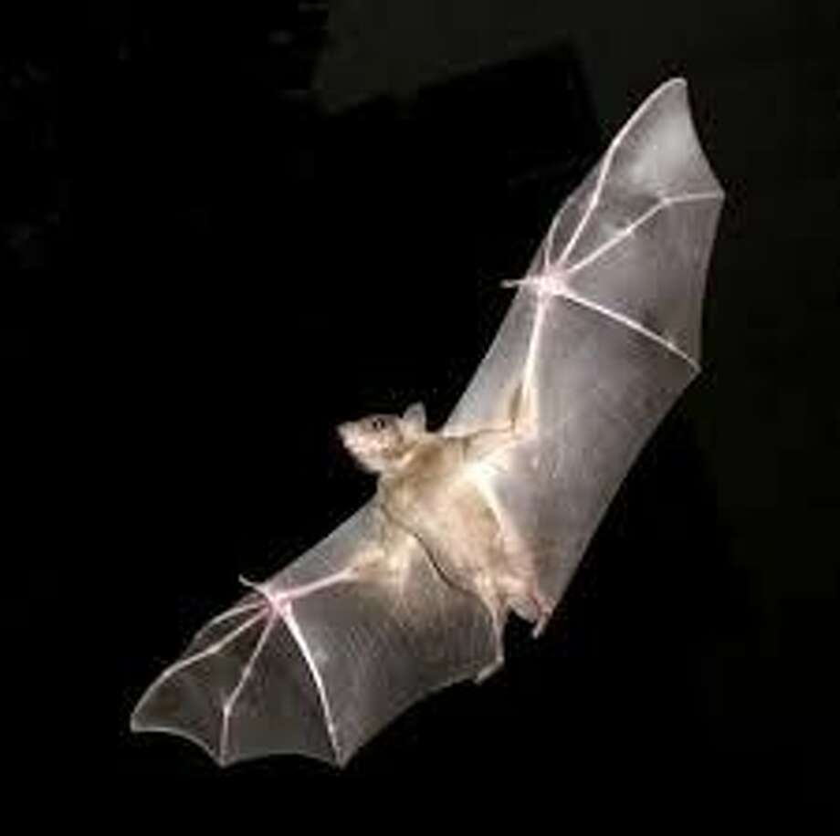 Bats are currently migrating to Yolo County. Seven dead bats have been recovered in the last week.