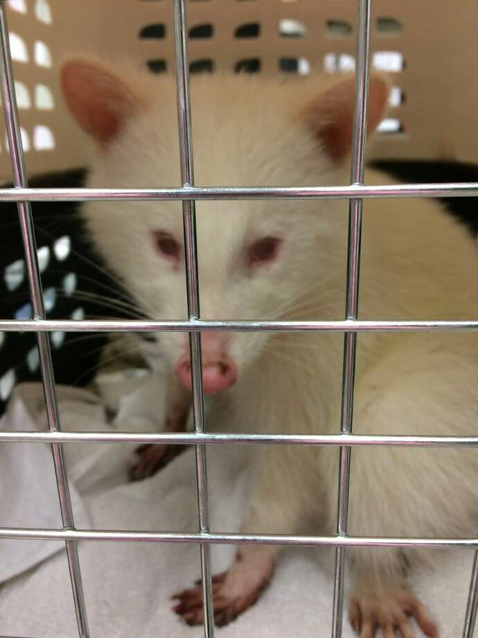 Although a little banged up after being in the wild, the healing process has begun for this rare albino raccoon.