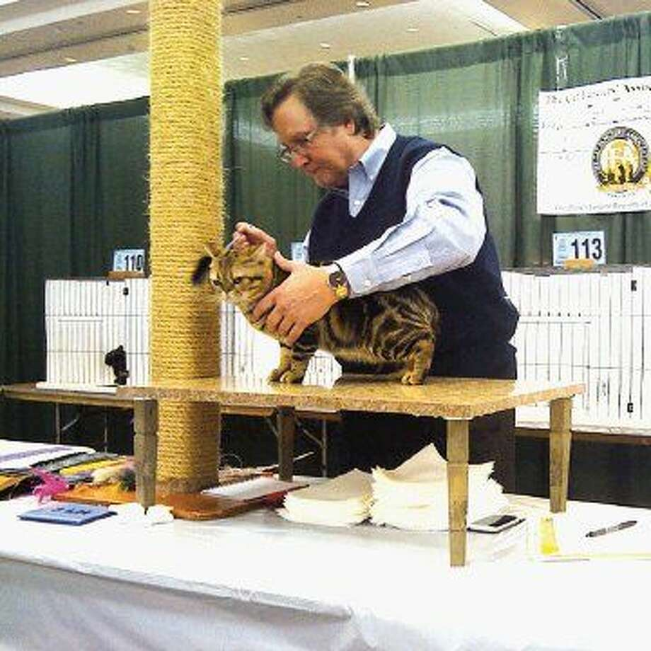 More than 200 cats and kittens will compete for prizes and points in the Houston Cat Club's 63rd annual Charity Cat Show Jan. 9-10 at the Humble Civic Center. Here, a Bengal is being judged. Cats will be competing in eight different rings where pedigreed cats are judged according to standards of conformation for each breed.