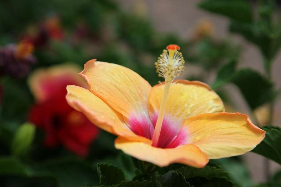 Tropical plants, like the hibiscus, often perform well in Houston's warm and humid environment. Photo: Submitted
